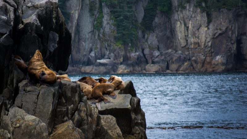 Stellar Sea lions Kenai Fjords Tour