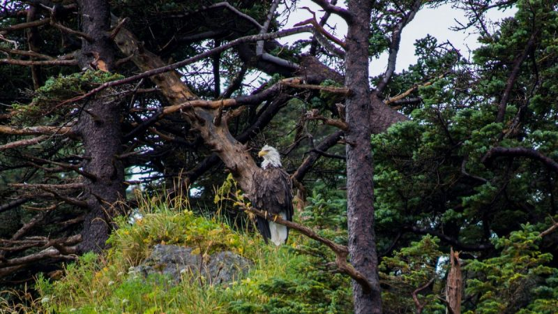 Bald Eagle Kenai Fjords Tour