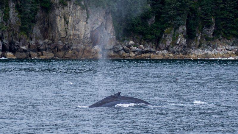 Humpback Whale - Kenai Fjords Tour